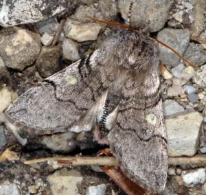 Achlya flavicornis 06 2