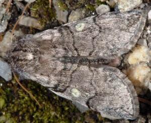 Achlya flavicornis 06 3