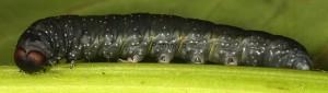 Achlya flavicornis (Linnaeus, 1758)