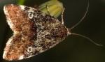 Acontia viridisquama (I, L5)