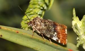 Acontia viridisquama 2