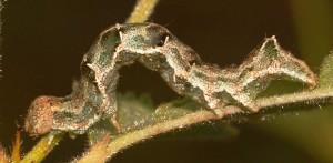 Acontia viridisquama L5