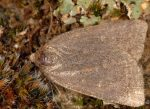 Acosmetia caliginosa (I)