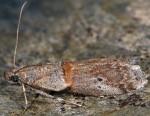 Acrobasis bithynella 06 2