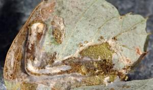 Acrobasis consociella tube de soie 06 1
