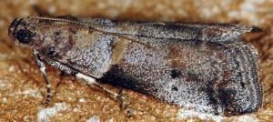 Acrobasis glaucella 06 3