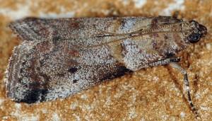 Acrobasis glaucella 06 4