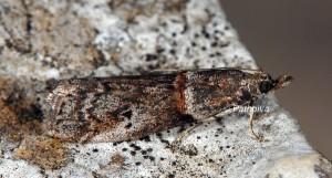 Acrobasis obliqua 06 1