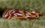 Acrobasis porphyrella