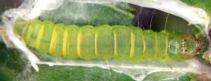 Acrobasis romanella L5 66 1