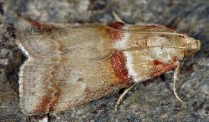Acrobasis tumidana 06 1