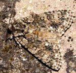 Acronicta rumicis (I, L5)
