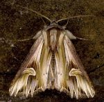 Actinotia polyodon (I)