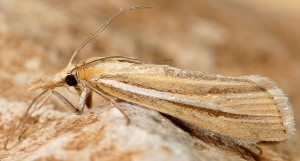 Agriphila deliella 05 1