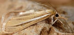 Agriphila deliella 05 2