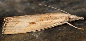 Agriphila geniculea 06 2