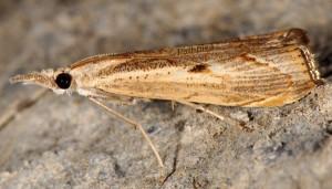 Agriphila geniculea 06 3