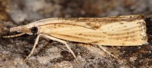 Agriphila inquinatella 06 1