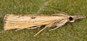 Agriphila inquinatella 06 2