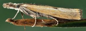 Agriphila inquinatella 34