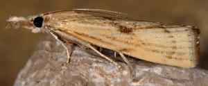 Agriphila paleatellus 06 1