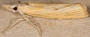 Agriphila paleatellus 06 2