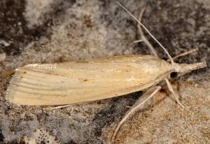 Agriphila paleatellus 06 3