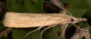 Agriphila paleatellus 06 6