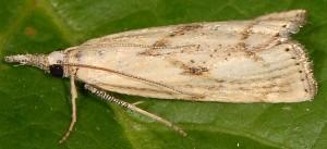 Agriphila paleatellus 06 7