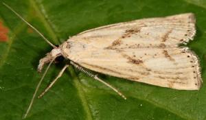 Agriphila paleatellus 06 8