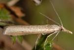 Agriphila poliellus 05 1
