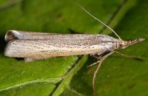 Agriphila poliellus 05 2
