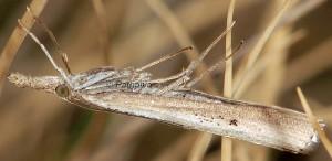 Agriphila poliellus 05 4