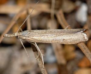 Agriphila poliellus 05 5
