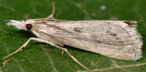 Agriphila tersellus 2B 3
