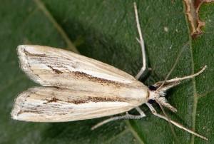 Agriphila trabeatellus 2B 1