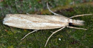 Agriphila trabeatellus 2B 11