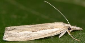 Agriphila trabeatellus 2B 2