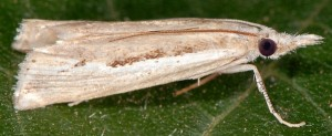 Agriphila trabeatellus 2B 3