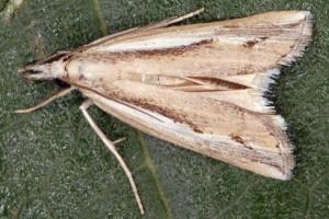 Agriphila trabeatellus 2B 4