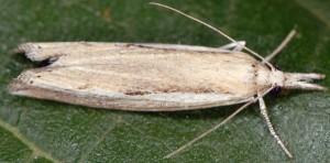 Agriphila trabeatellus 2B 5