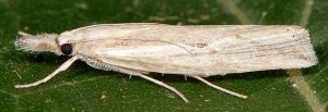 Agriphila trabeatellus 2B 6