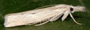 Agriphila trabeatellus 2B 8