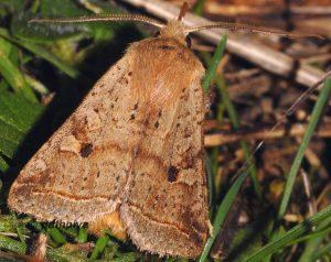 Agrochola blidaensis 34 1