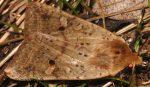 Agrochola blidaensis 34 2