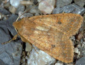 Agrochola circellaris 06 2