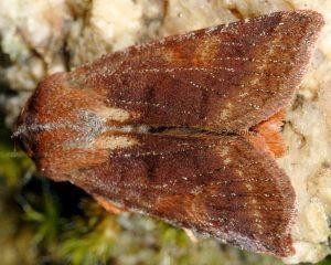 Agrochola haematidea 2