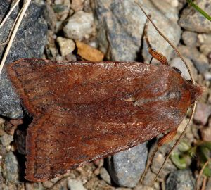Agrochola haematidea 3