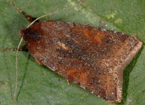 Agrochola haematidea 4