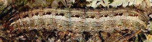 Agrochola haematidea L5 3